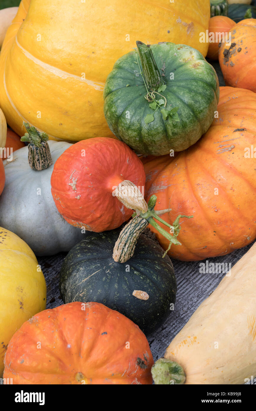 Pumpkin, gourd and squash display at Daylesford Organic farm shop autumn festival. Daylesford, Cotswolds, Gloucestershire, - Stock Image