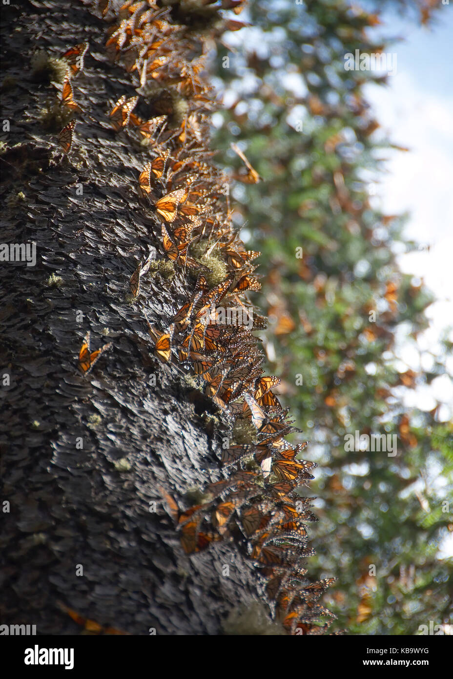 Monarch butterflies arriving at Michoacan, Mexico, after migrating from Canada. - Stock Image