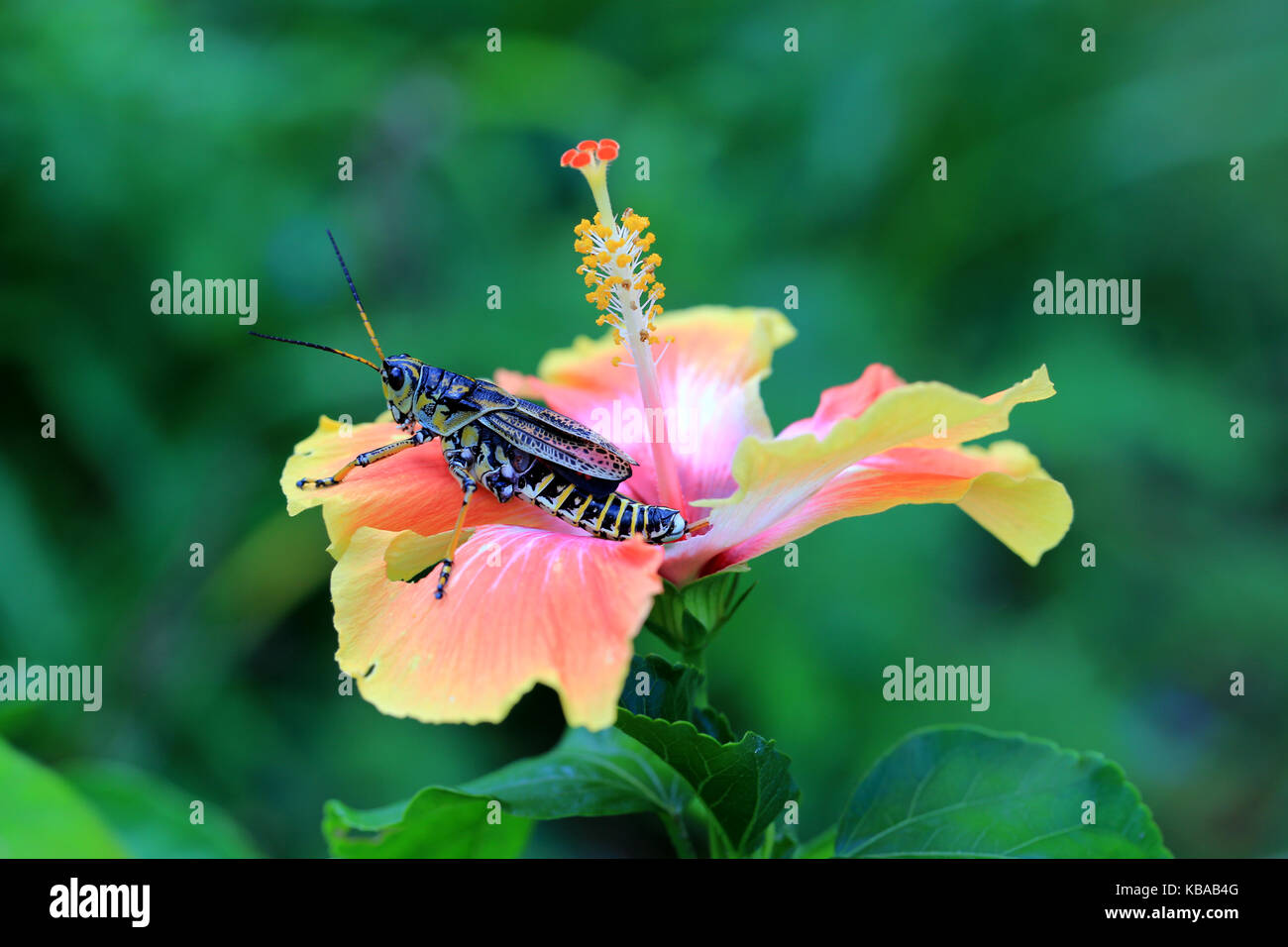 Lubber Grasshopper on Hibiscus flower, South Carolina - Stock Image