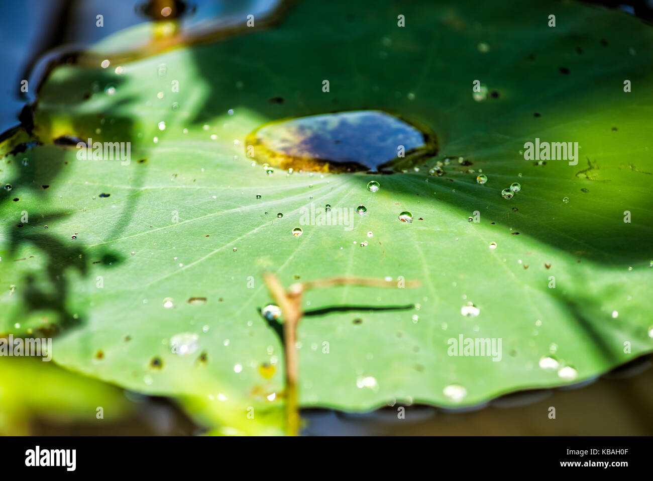 Macro closeup of large water drops on lily lotus pads in pond marsh during sunny summer Stock Photo