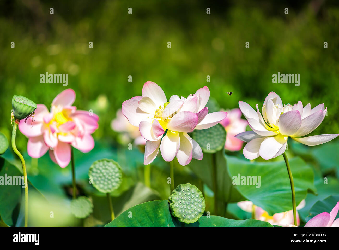 Many White Lotus Flowers In The Pond Stock Photos Many White Lotus