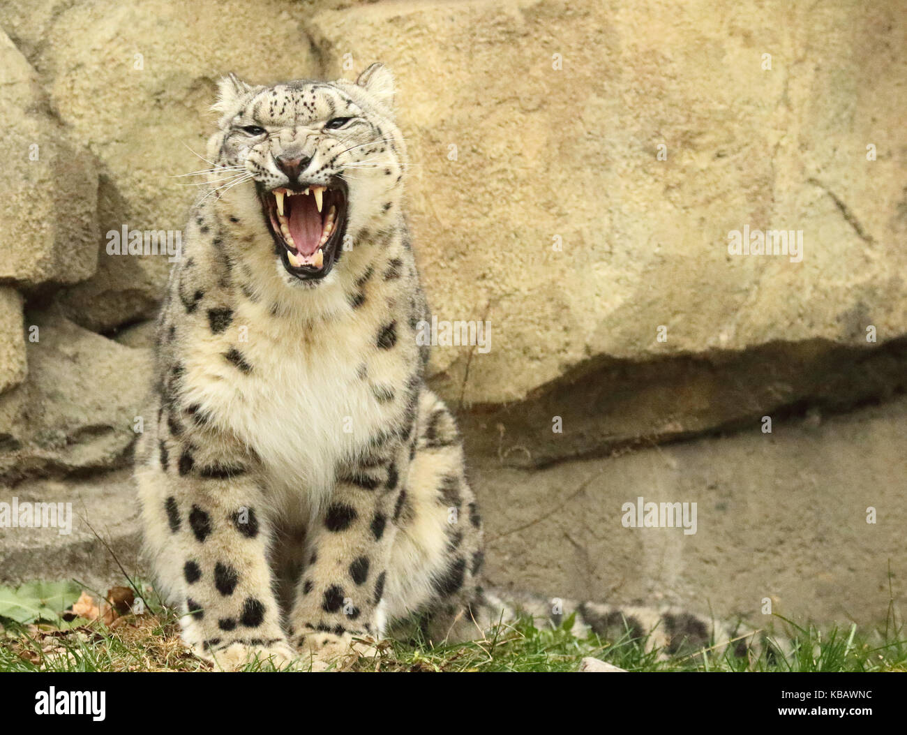 A Snow Leopard snarling in warning. - Stock Image