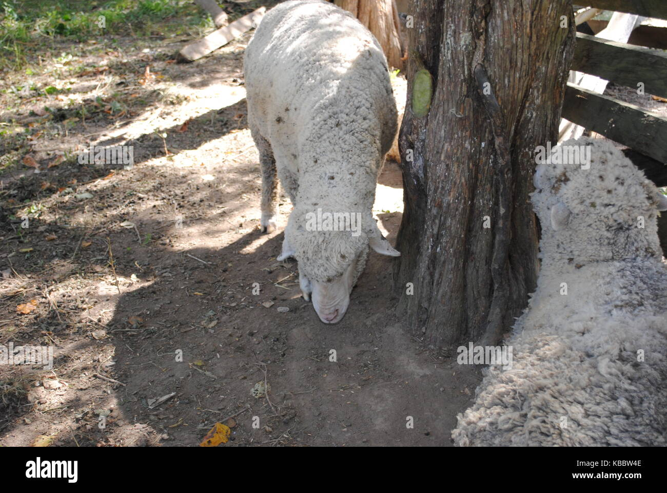Sheep next to tree at Carriage Hill - Stock Image