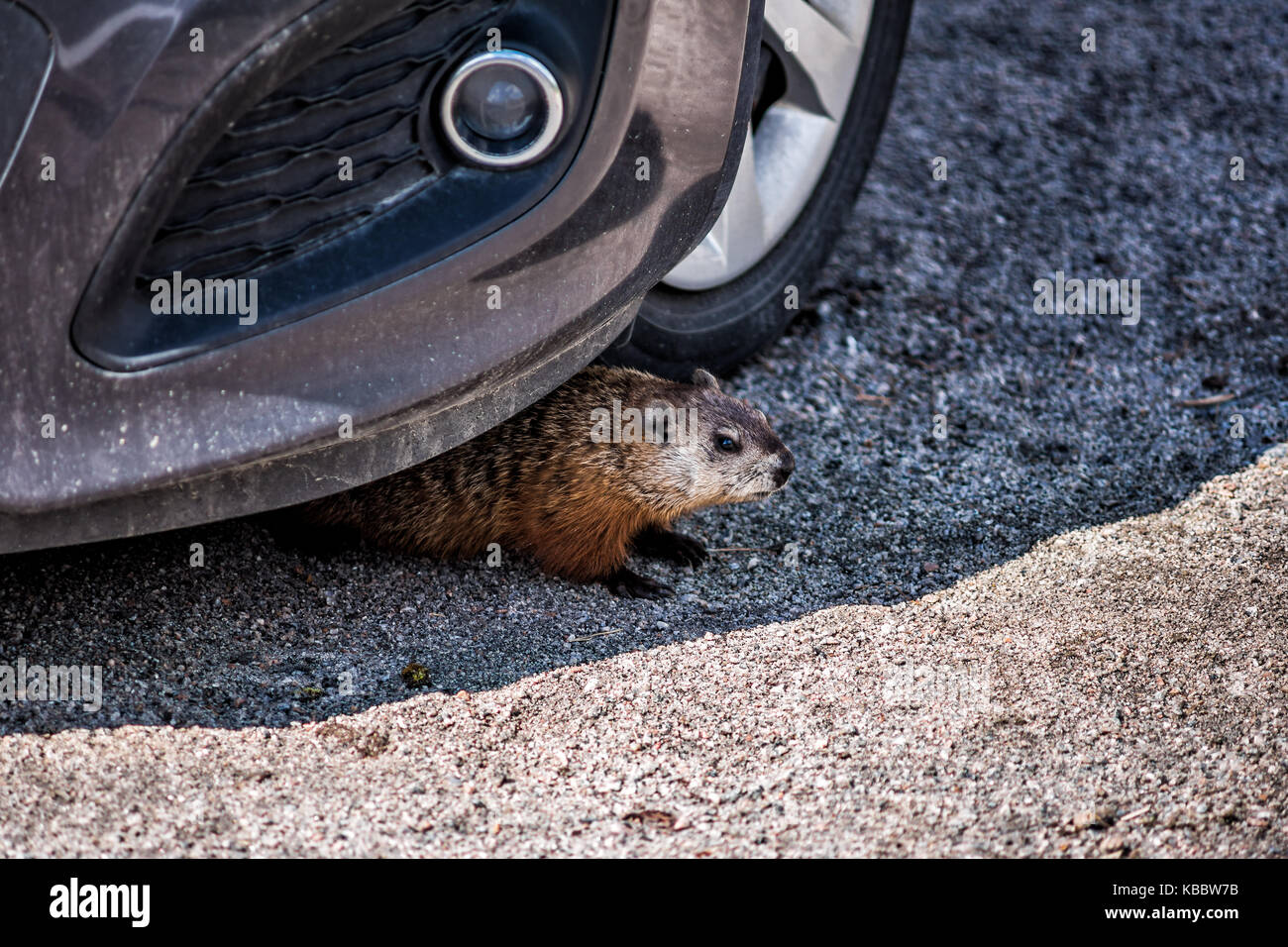 Closeup of rodent, woodchuck, muskrat or groundhog hiding under car by tire in shadow - Stock Image