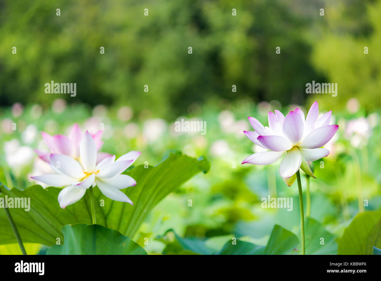 Large Water Lily Plants With Large Pink Flowers Stock Photos Large