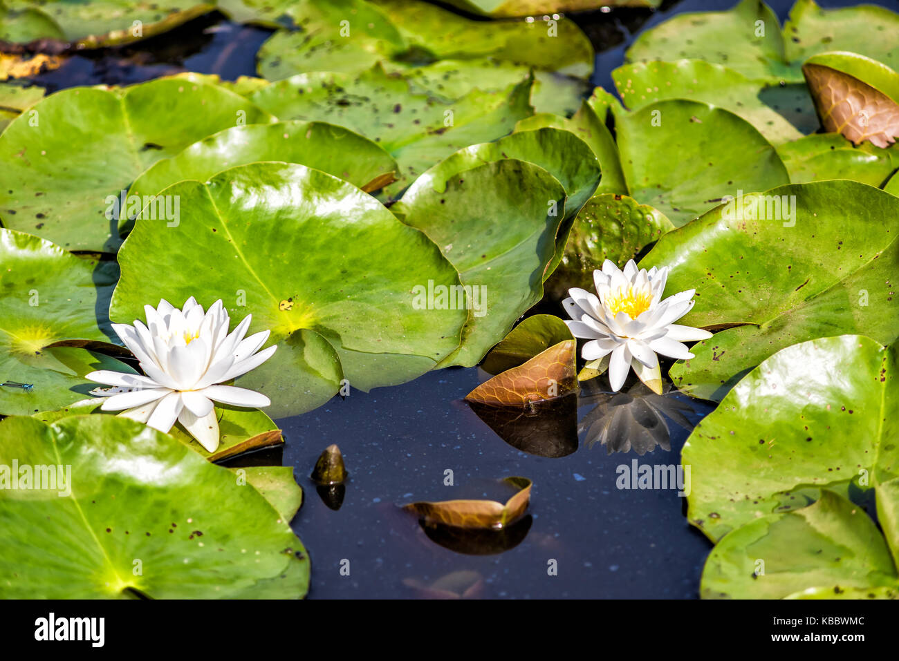 Closeup of two blooming white bright lily flowers with pads in pond Stock Photo