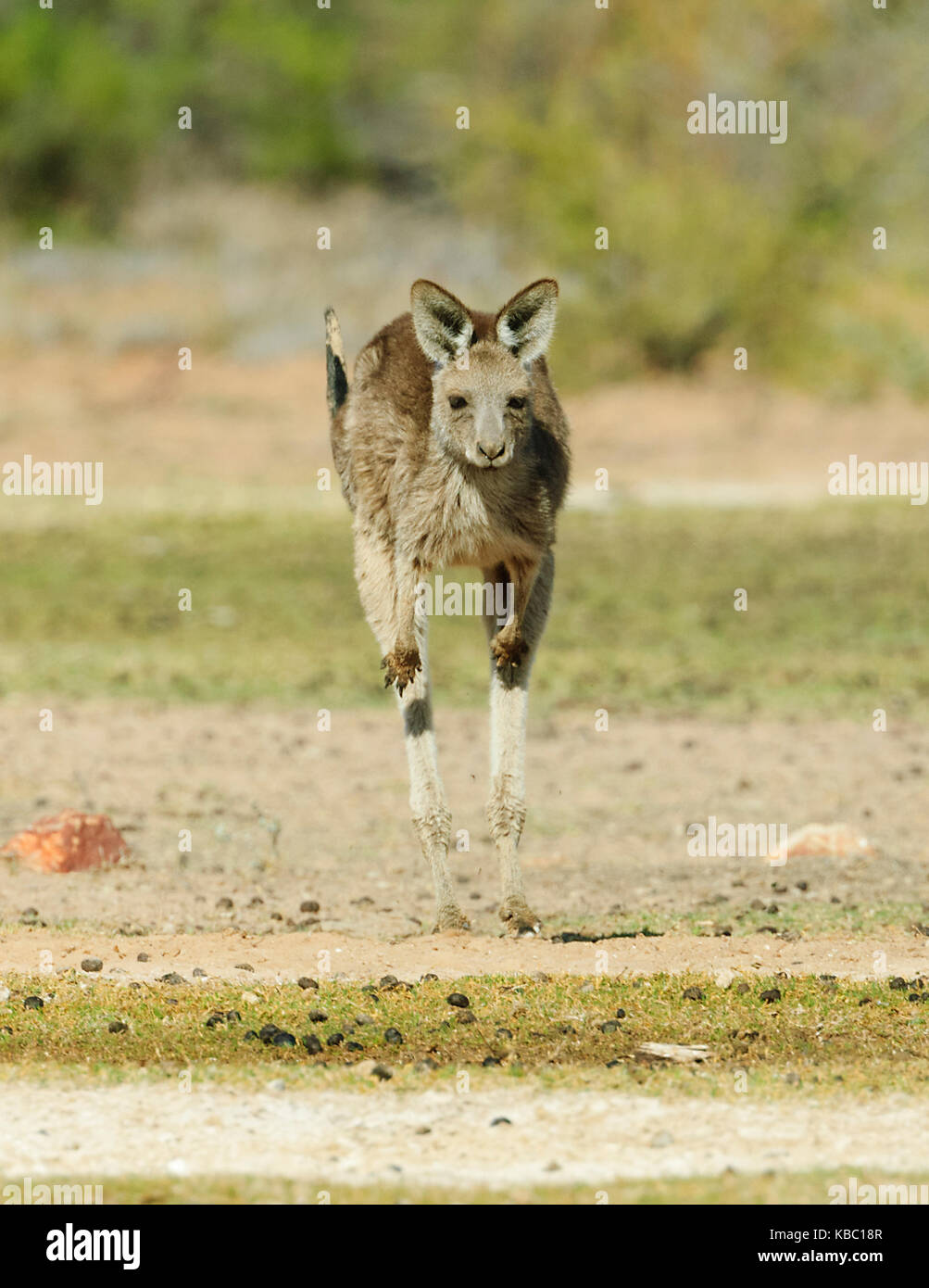 Red Kangaroo (Macropus rufus) hopping. Bowra, near Cunnamulla, Queensland, QLD, Australia - Stock Image