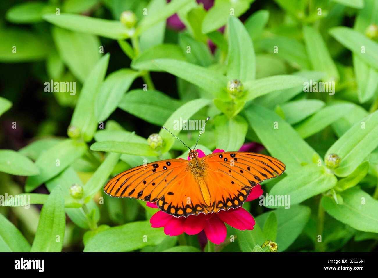 Gulf Fritillary butterfly,Agraulis vanillae, nectaring on pink zinna elegans. Oklahoma, USA. - Stock Image