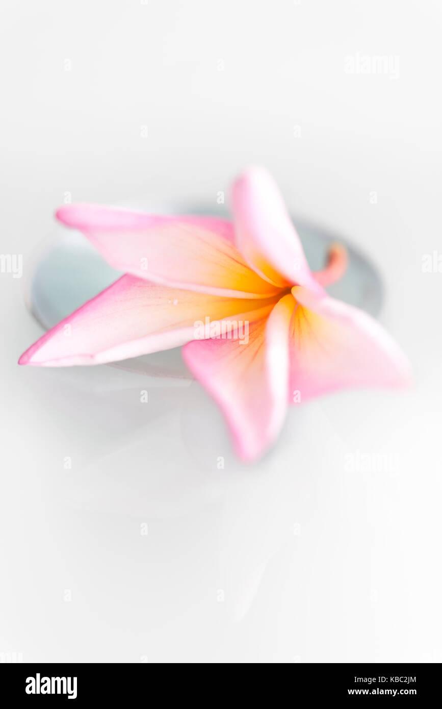 Thai Flower 'Lila Wadee' - Stock Image
