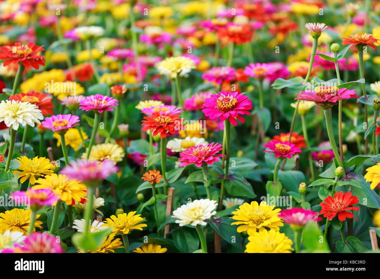Binh Dong Floating Flower Market.Beautiful Colorful Gerbera Hoa Dong Tien Flowers In Spring Binh