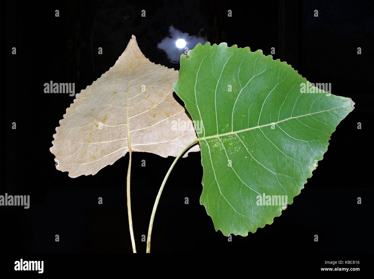 Poplar's  leaves with lamp on background - Stock Image