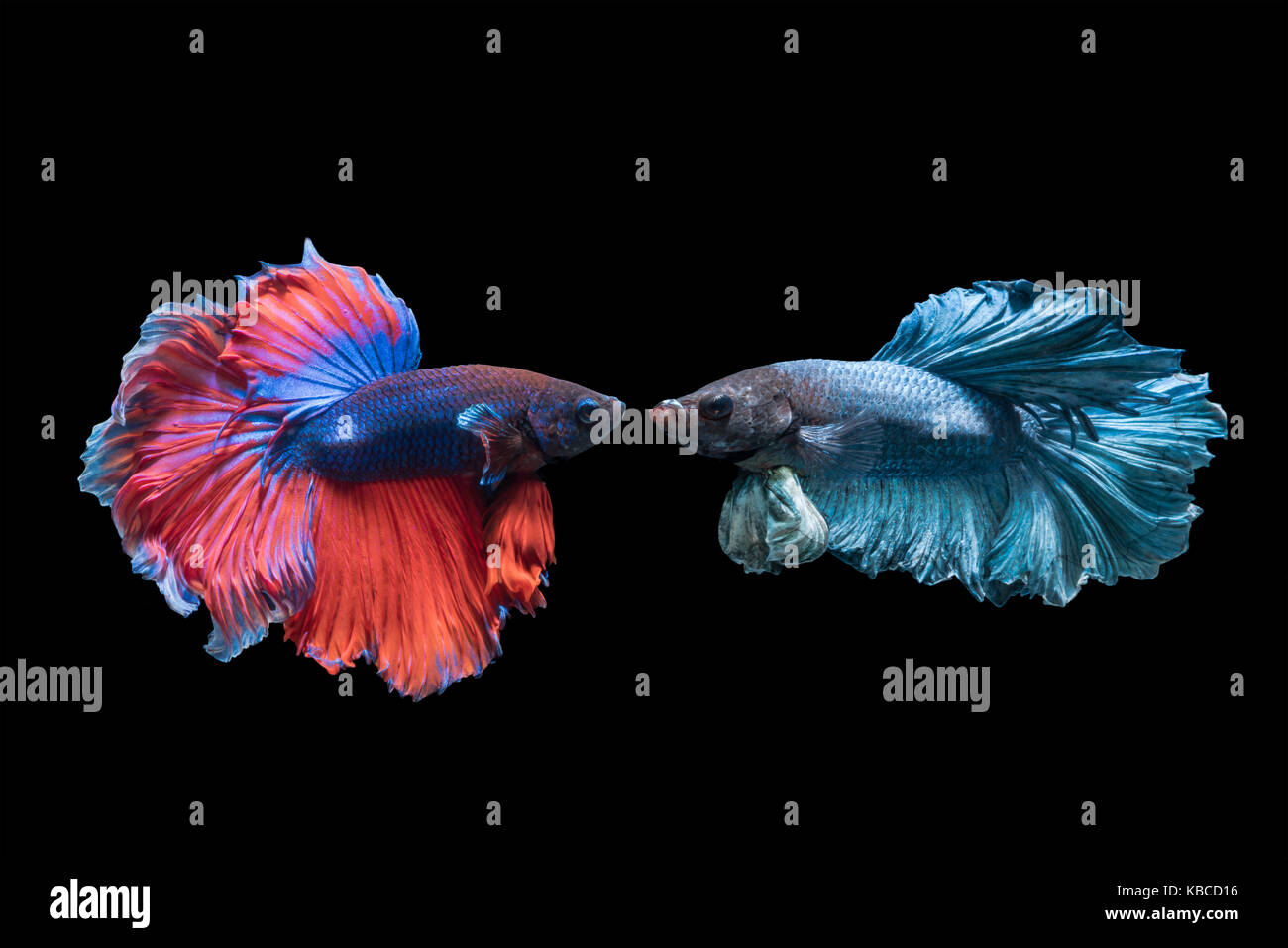 Betta splendens, beautiful red and blue fighting fish isolated on black background, fish fresh water in Thailand Stock Photo
