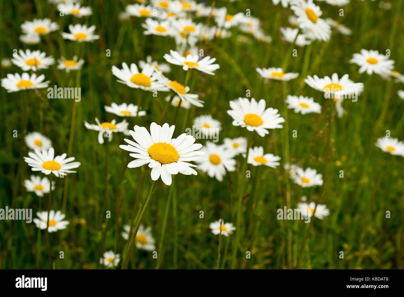 Midsummer Flowers Stock Photo 161948424 Alamy