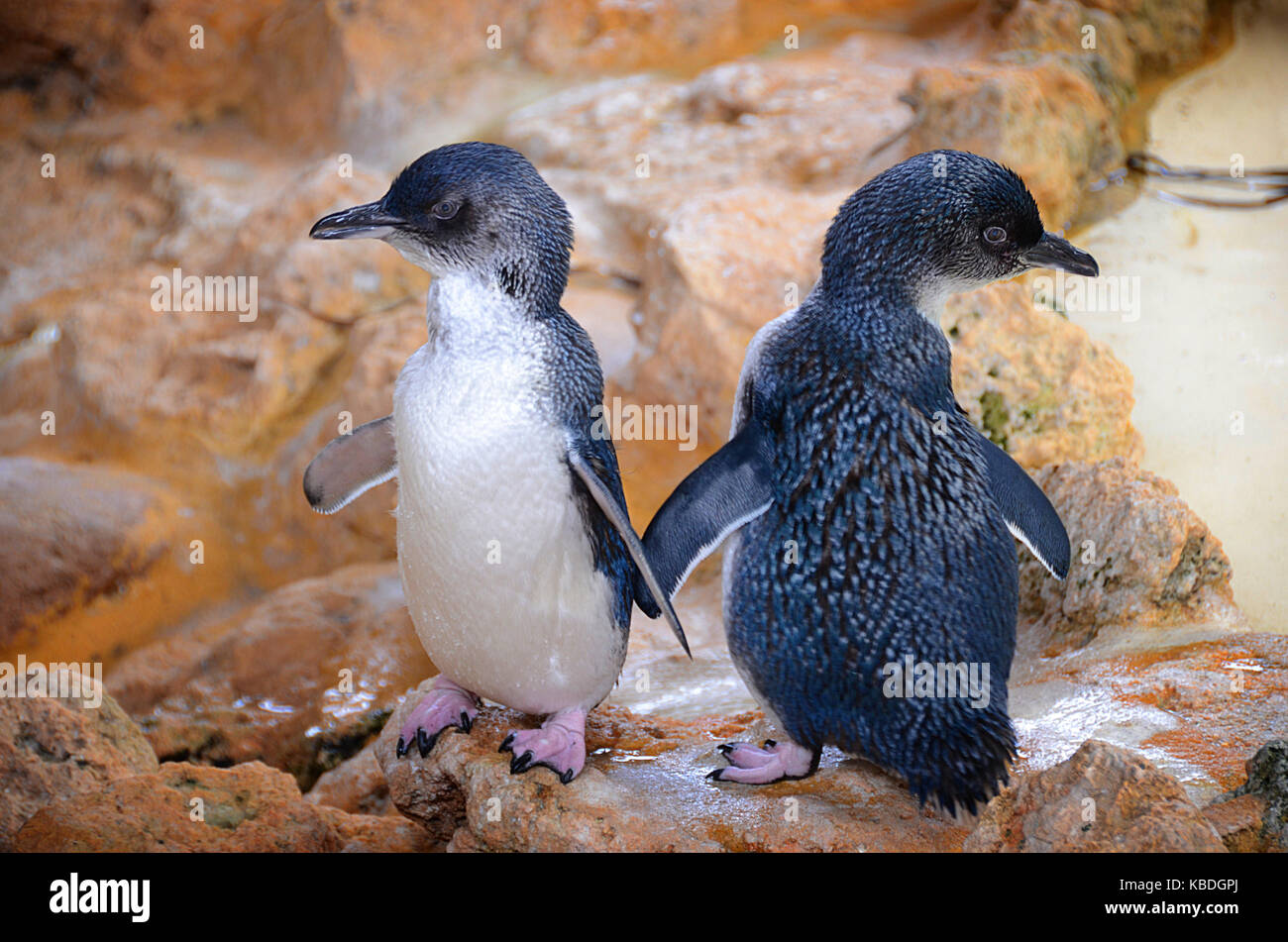Little penguin (Eudyptula minor) pair on shore. Little penguins are sociable and spend much of their time out of - Stock Image