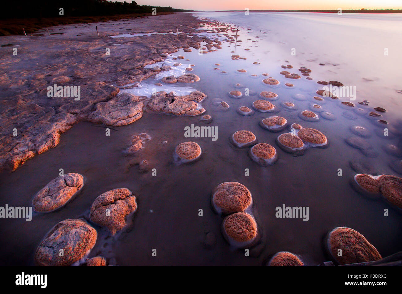 A community of thrombolites, extremely rare and ancient life forms, living fossils built by micro-organisms and - Stock Image