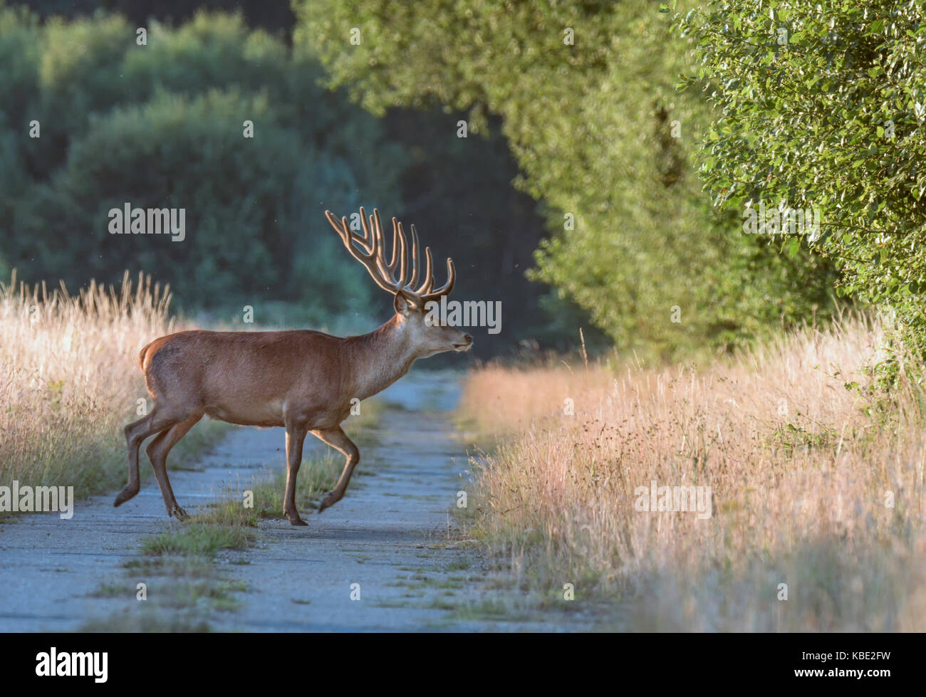 Red Deer stag moving into vegetation on a Norfolk airfield. - Stock Image
