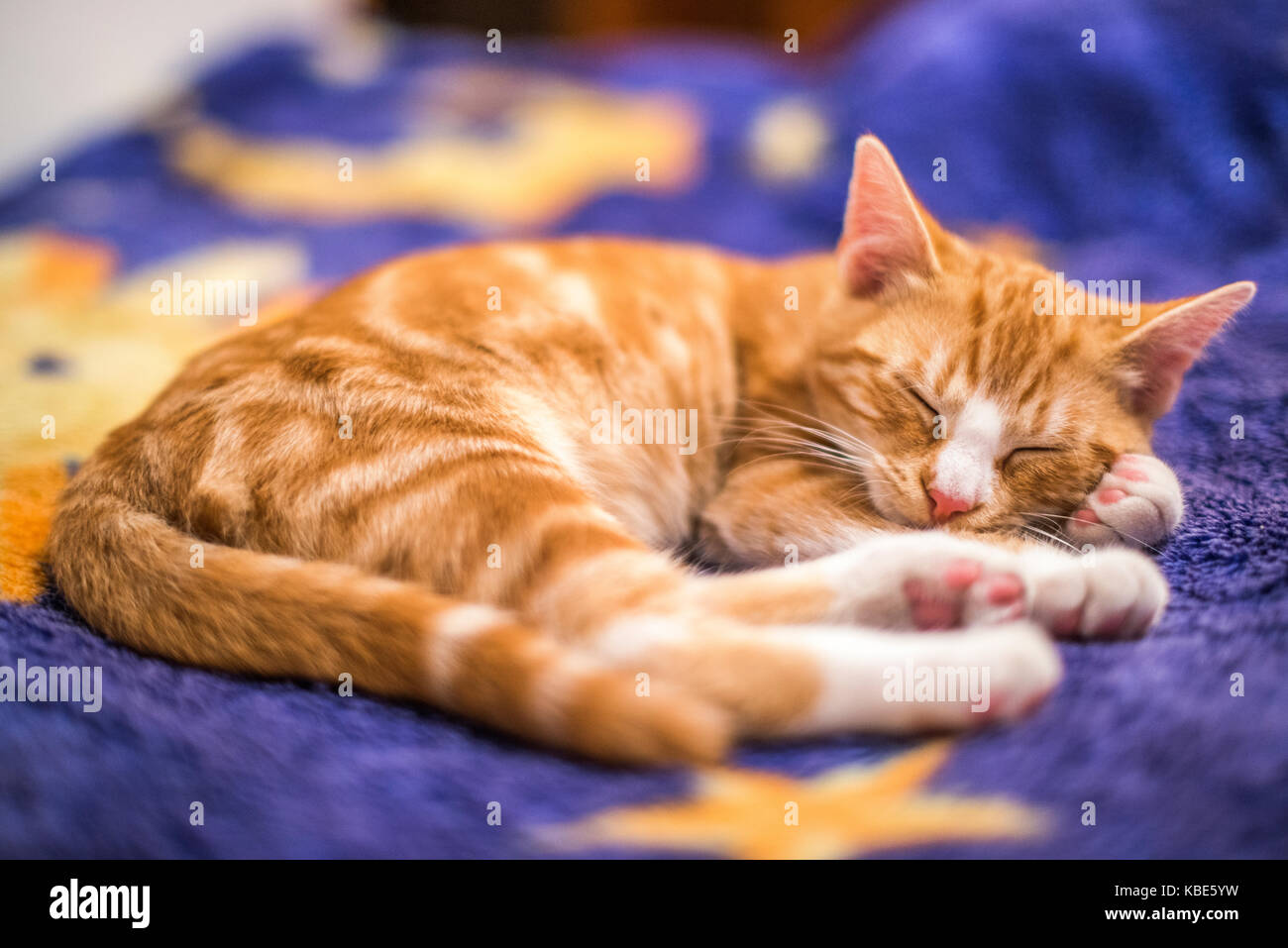 A young cat sleeping on a couch at home, sweet and beautiful. - Stock Image