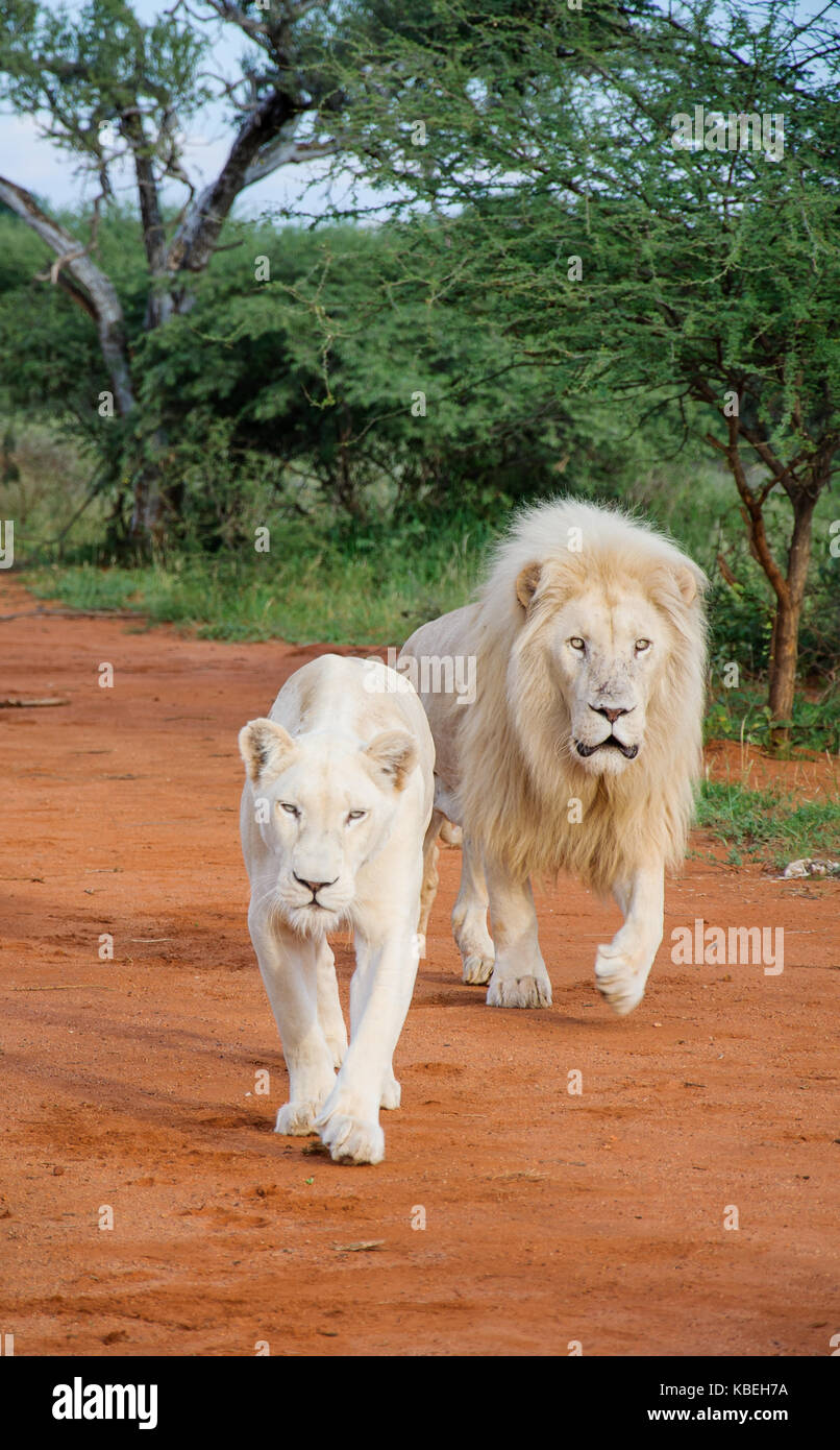 White Lions walking down the sand road - Stock Image