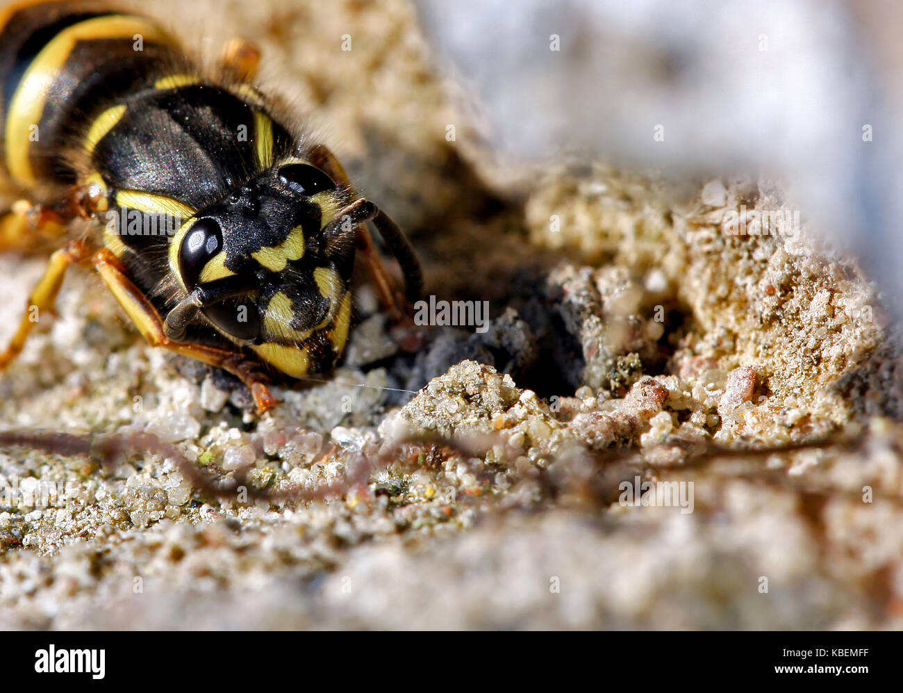 Close-up of a bee - Stock Image