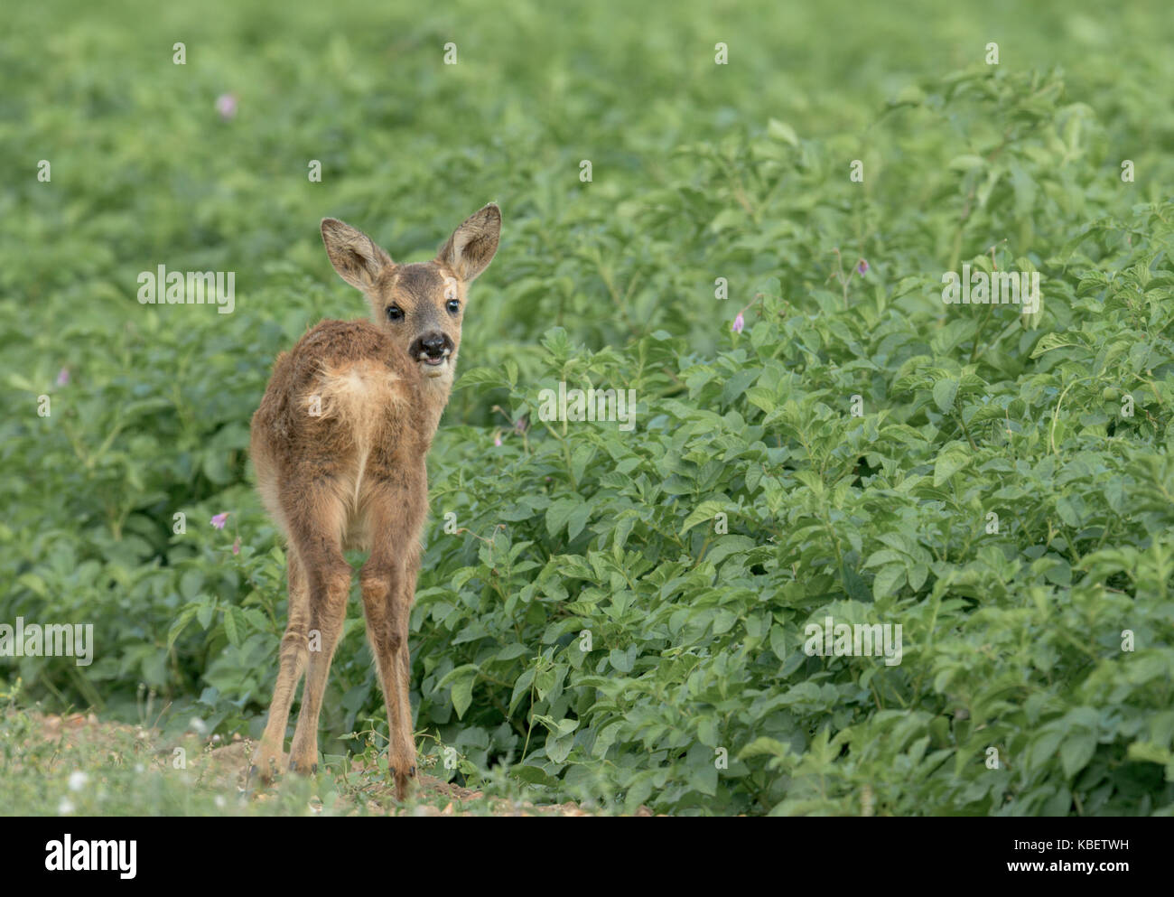 young Roe Deer grasing at the edge of a potato field in Norfolk. - Stock Image