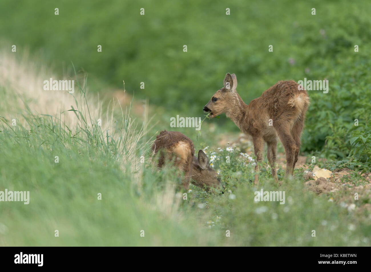 Two young Roe Deer grasing at the edge of a potato field in Norfolk. - Stock Image
