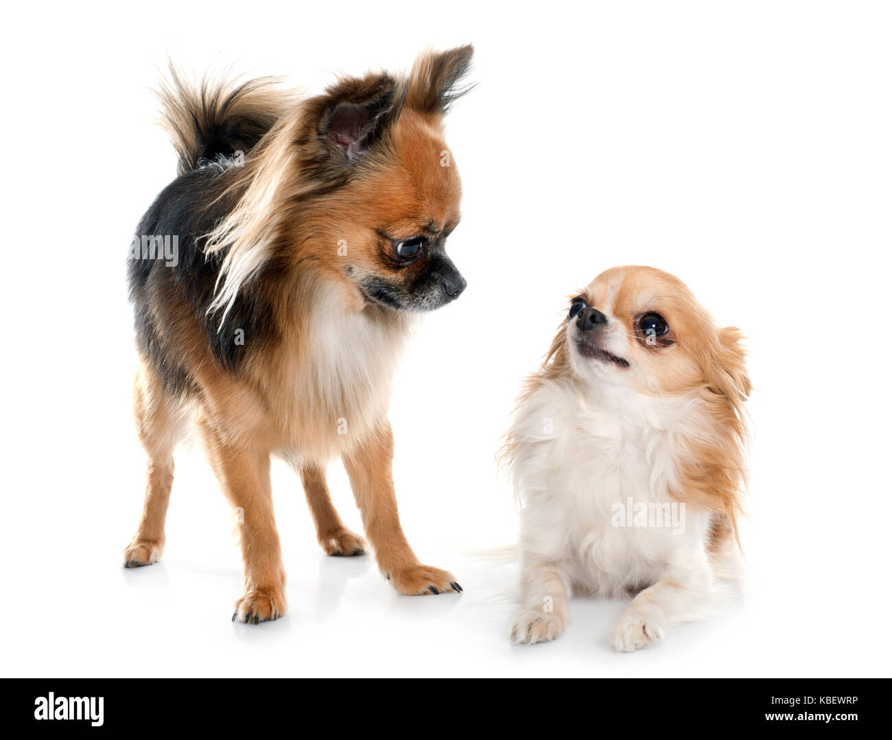 two long hair chihuahuas in front of white background - Stock Image