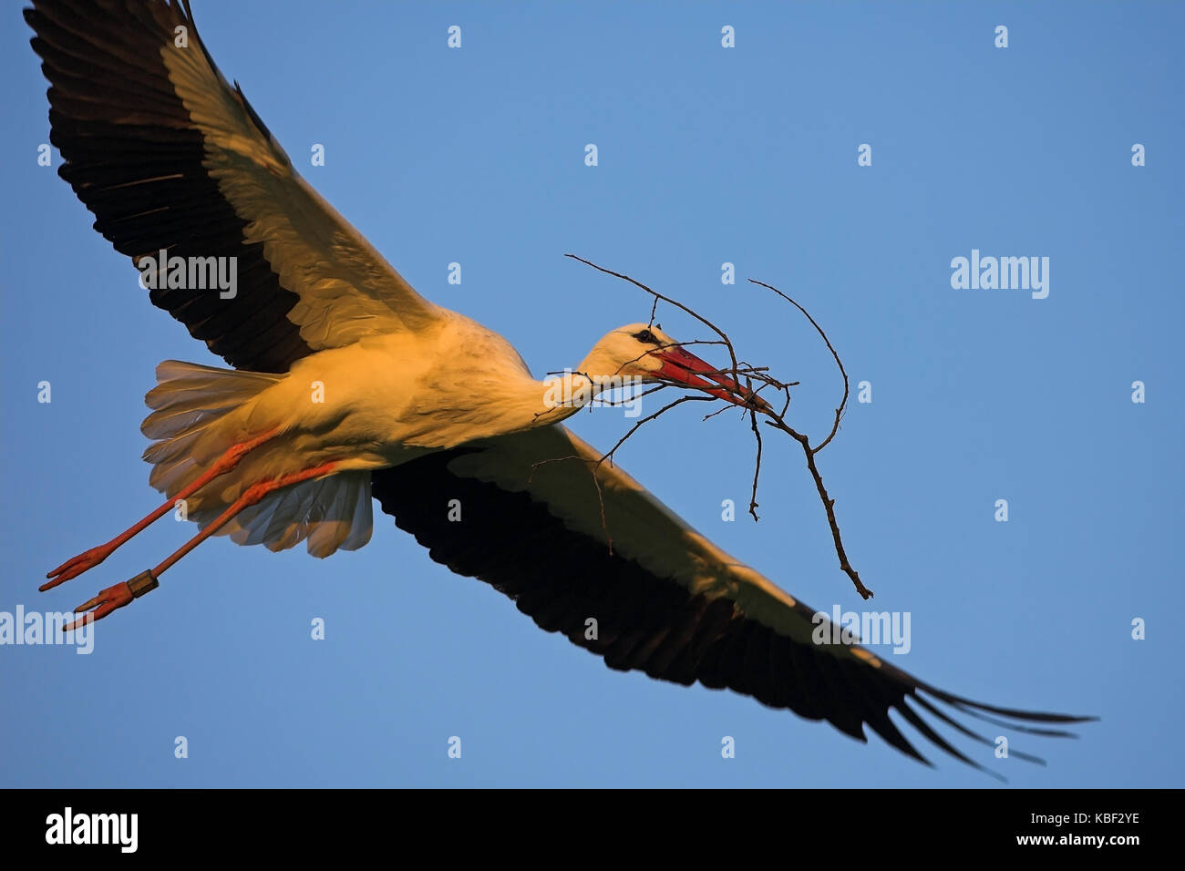 White stork, Ciconia ciconia, , Weissstorch - Stock Image