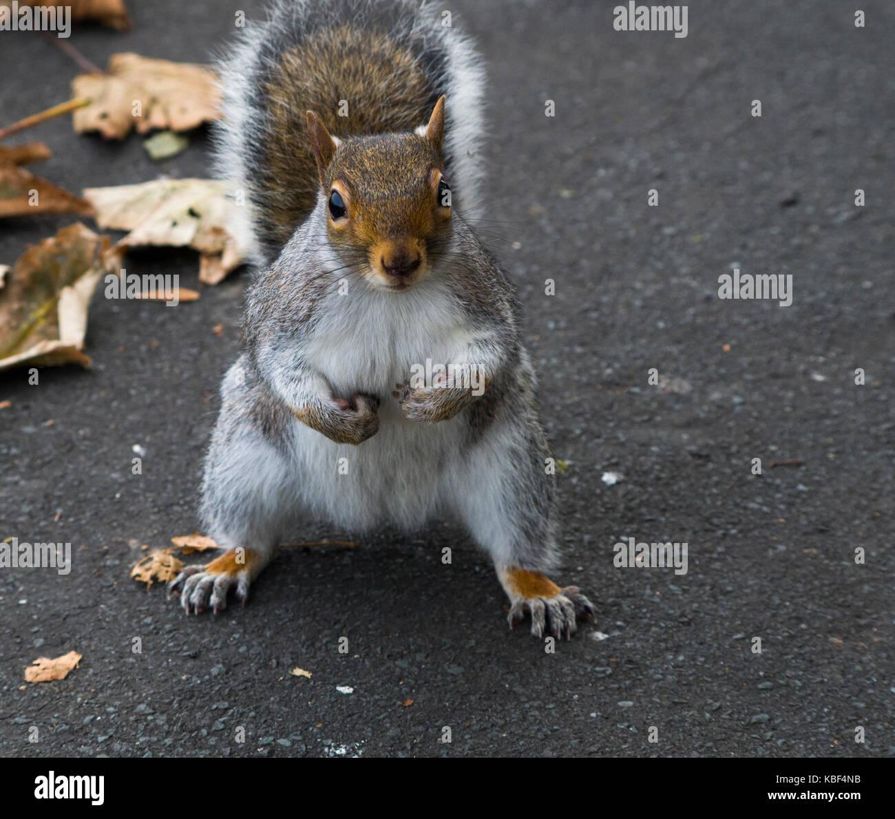 Grey Squirrel (Sciurus carolinensis) in autumn, Sussex, England. - Stock Image