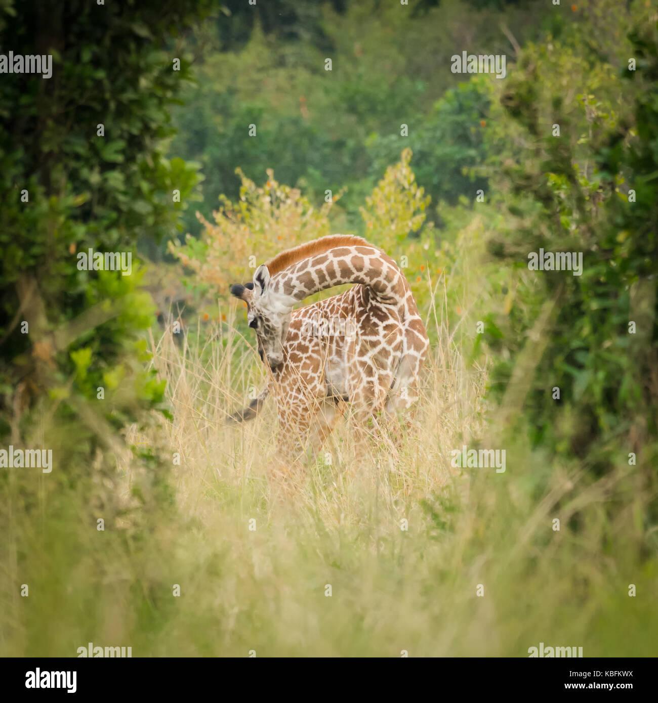 Hidden Giraffe Stock Photos Hidden Giraffe Stock Images Alamy