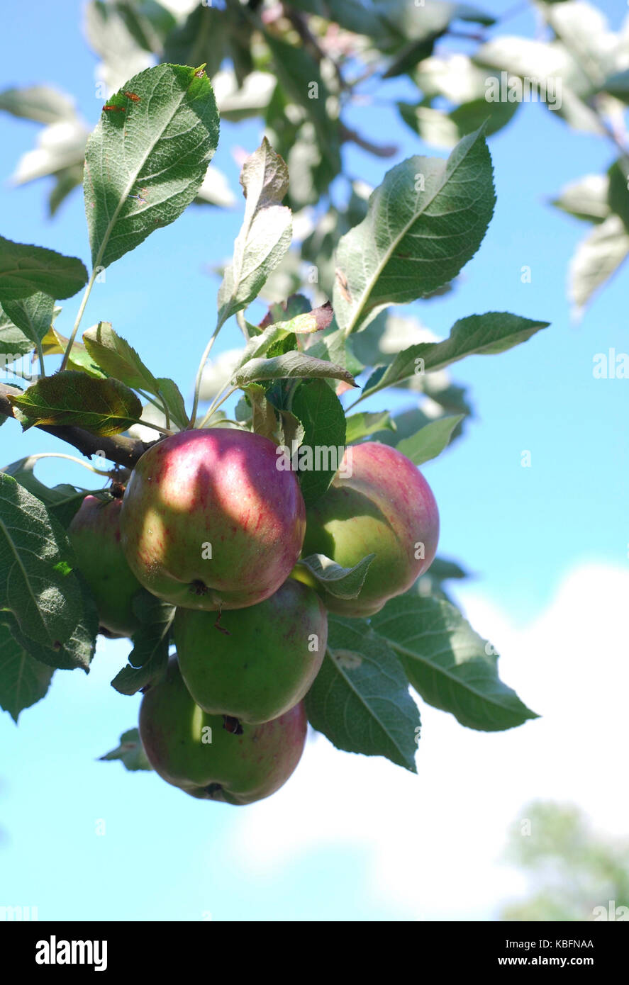 Ripe Apples ready for picking - Stock Image