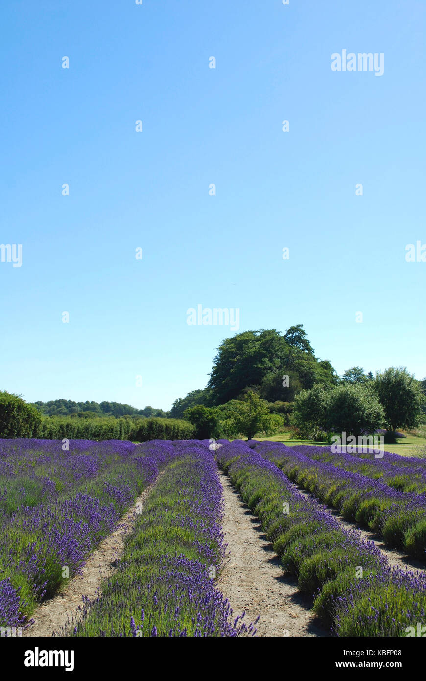 Lavender Fields In Bloom Sequim Wa Usa Stock Photo 162001064