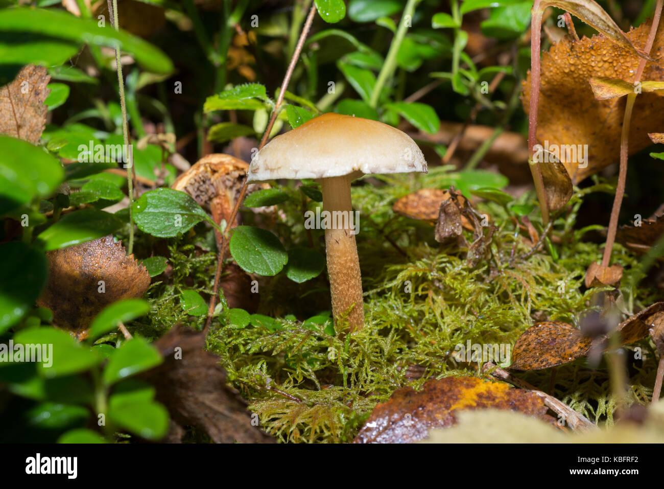 slice mushrooms, groat had - Stock Image