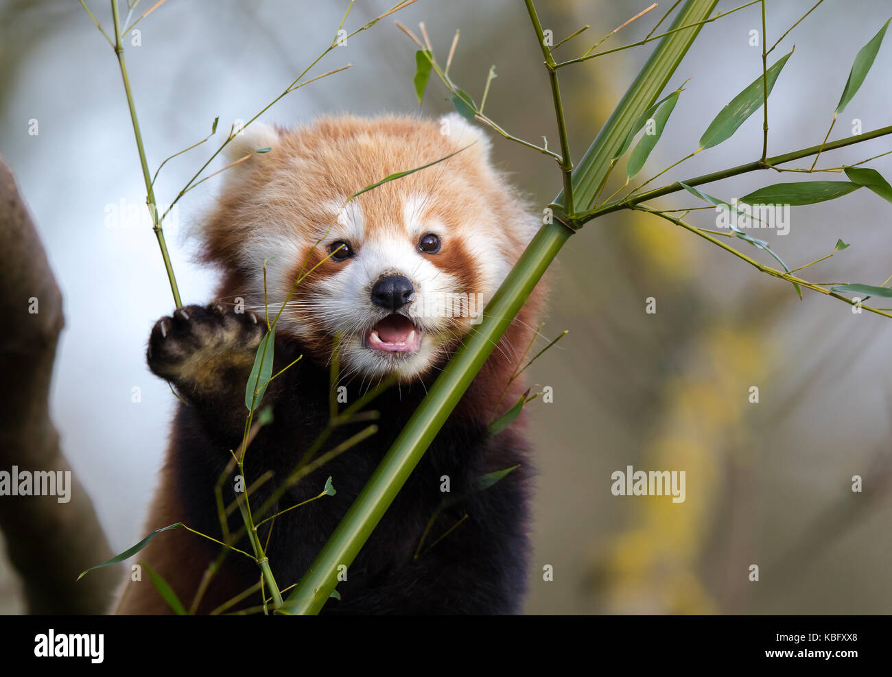 Detailed close up of open-mouthed, young red panda (Ailurus fulgens) perched in tree with front paw in air, as if - Stock Image