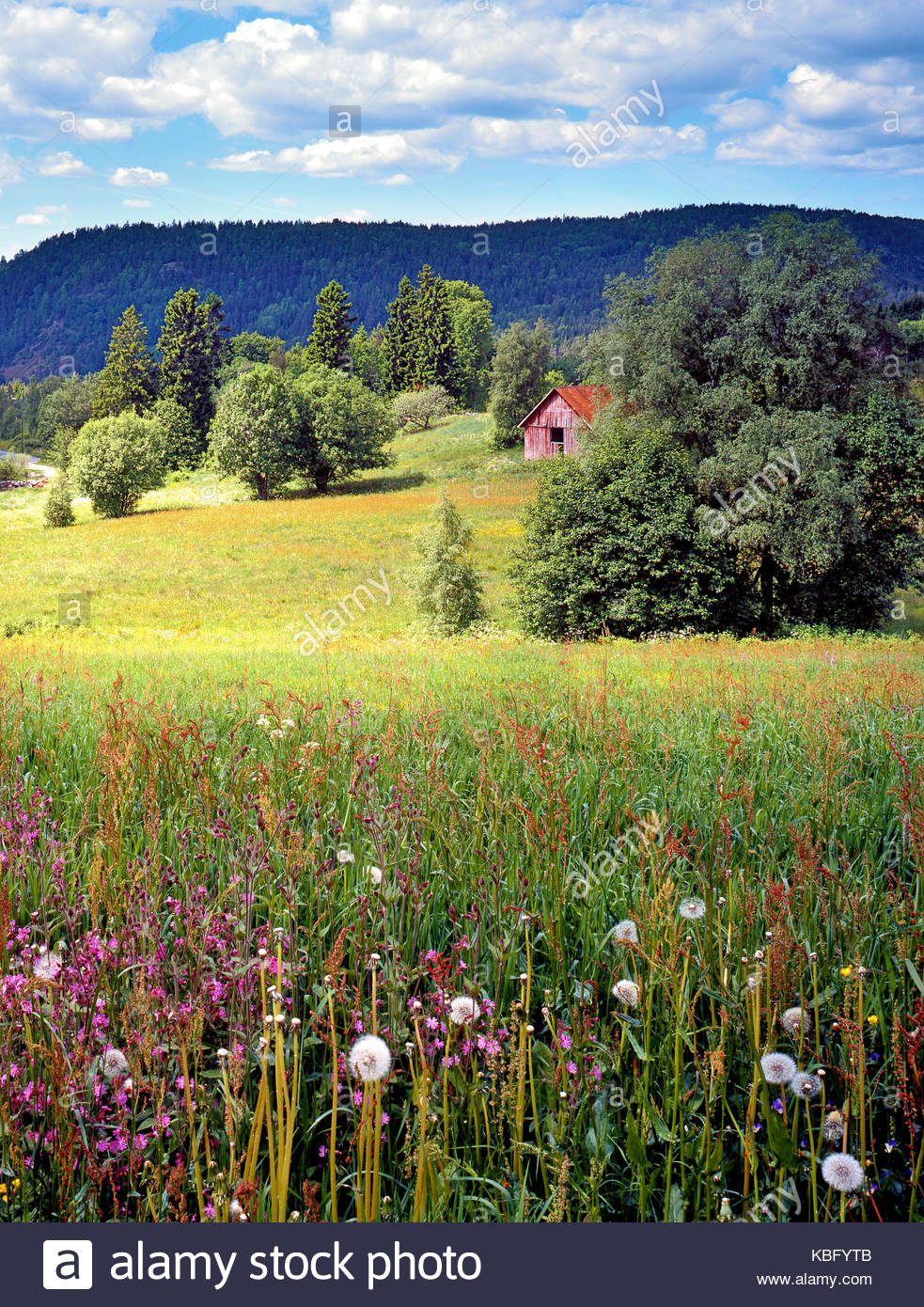 A summer view of the fertile, flowering countryside of South Norway - Stock Image