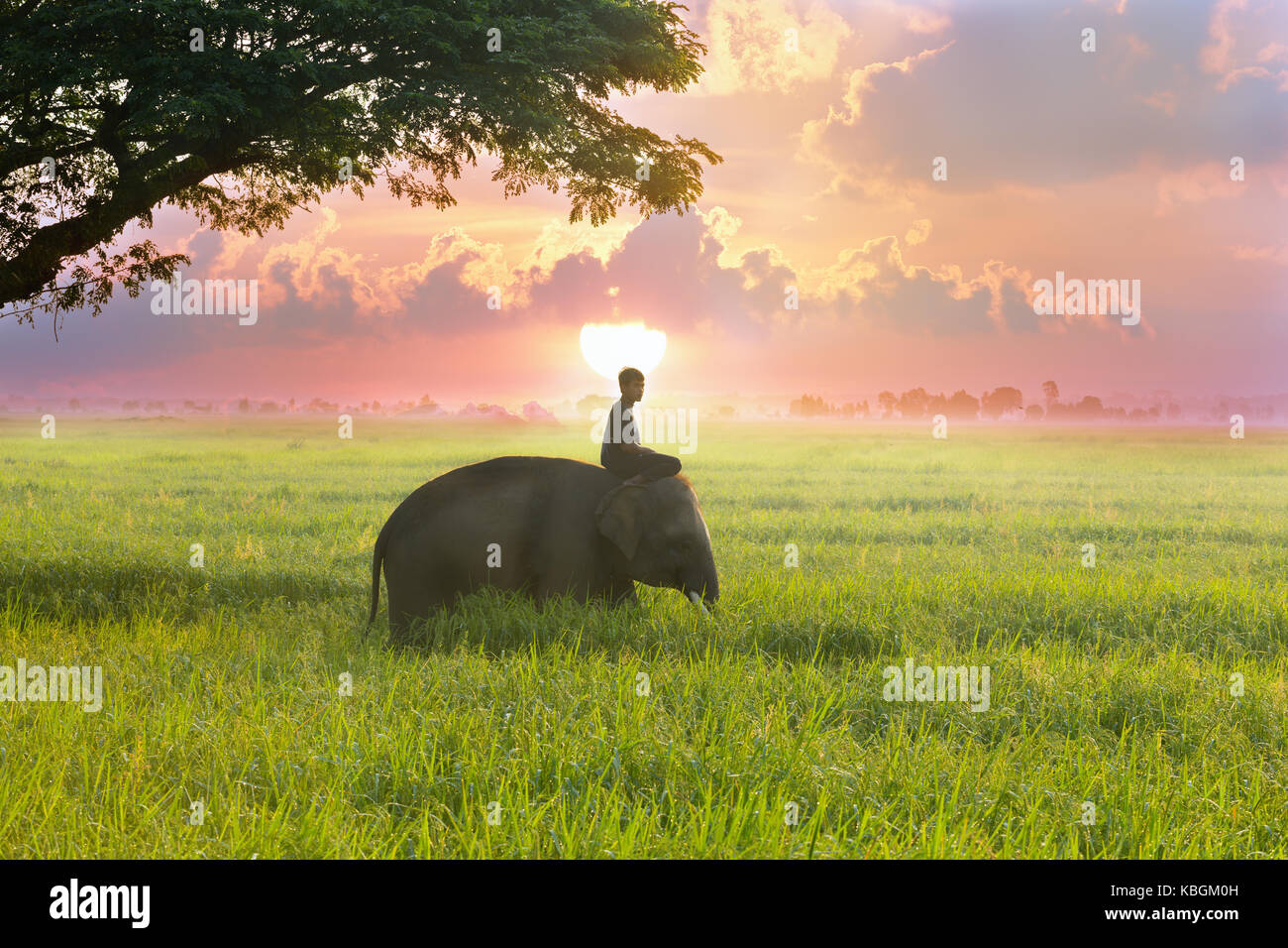 Thailand mahout and elephant are in the middle of the rice field with tree behind the sunrise on the beuatiful side. - Stock Image