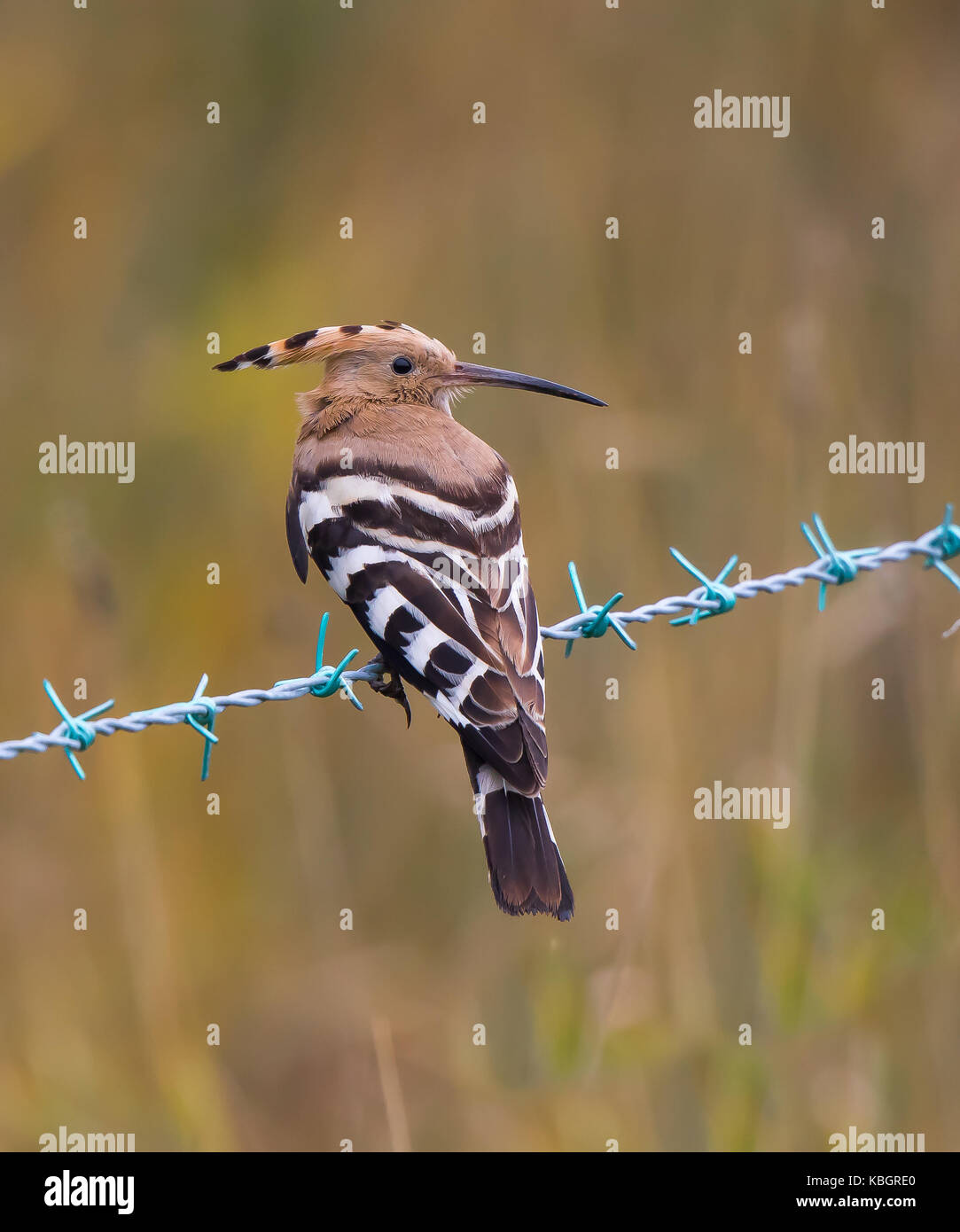 Stunning capture of a rarely-seen adult Hoopoe perched on barbed wire near open grassland, Midlands, UK. Striking - Stock Image