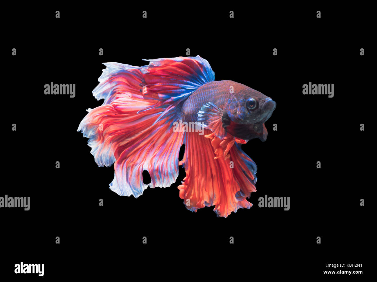 Betta splendens, beautiful fighting fish isolated on black background, fish fresh water in Thailand Stock Photo