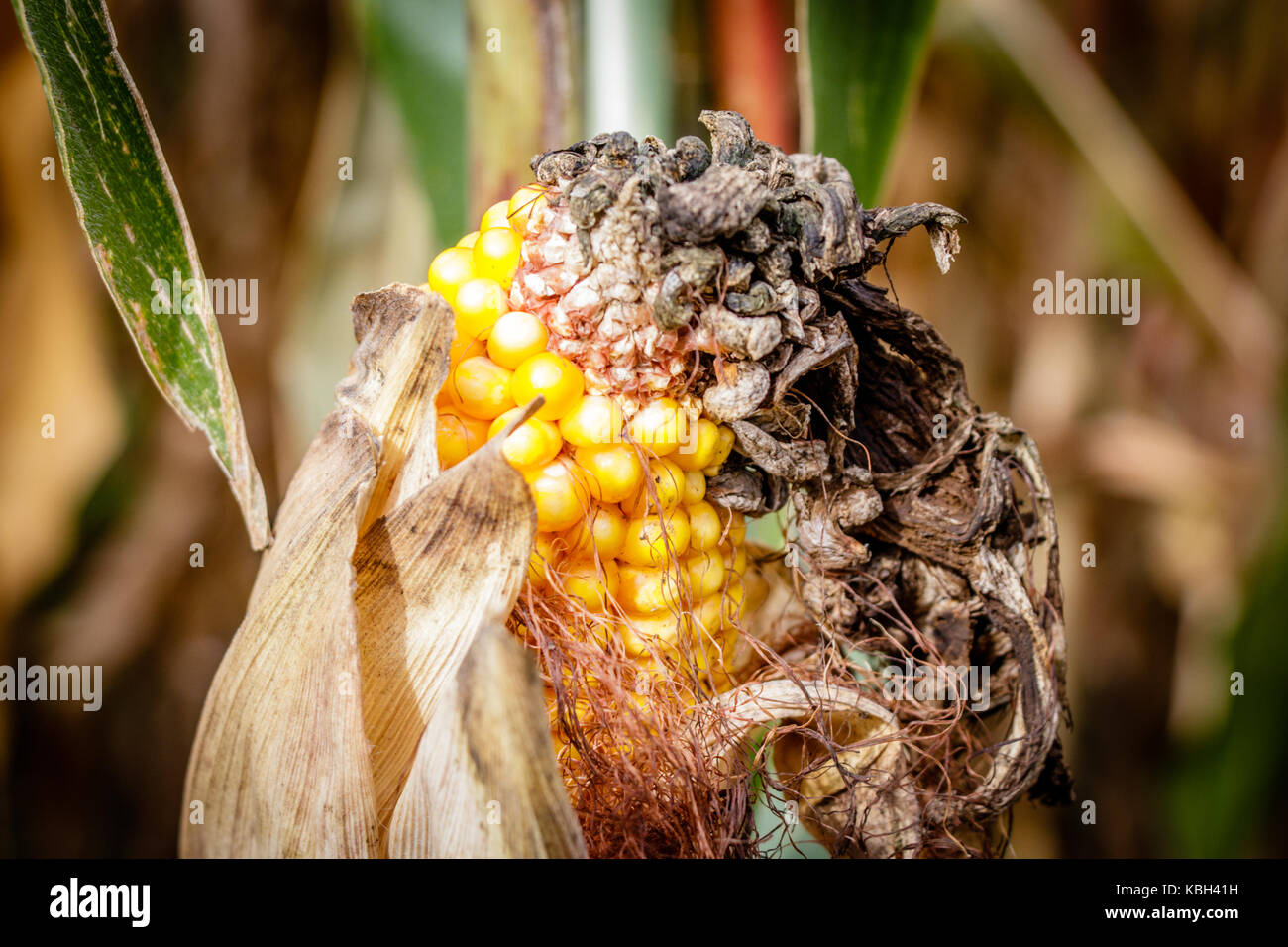 A corn maze or maize maze is a maze cut out of a corn field. The first corn maze was in Annville, Pennsylvania. - Stock Image