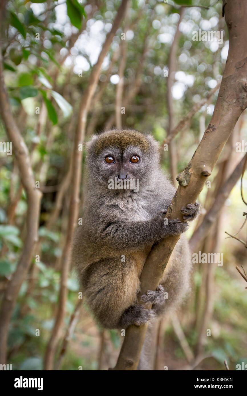 Africa, Madgascar, Vakona Private Reserve, Bamboo Lemur, Eastern Lesser Bamboo Lemur, aka Grey Gentle Lemur, Lesser - Stock Image