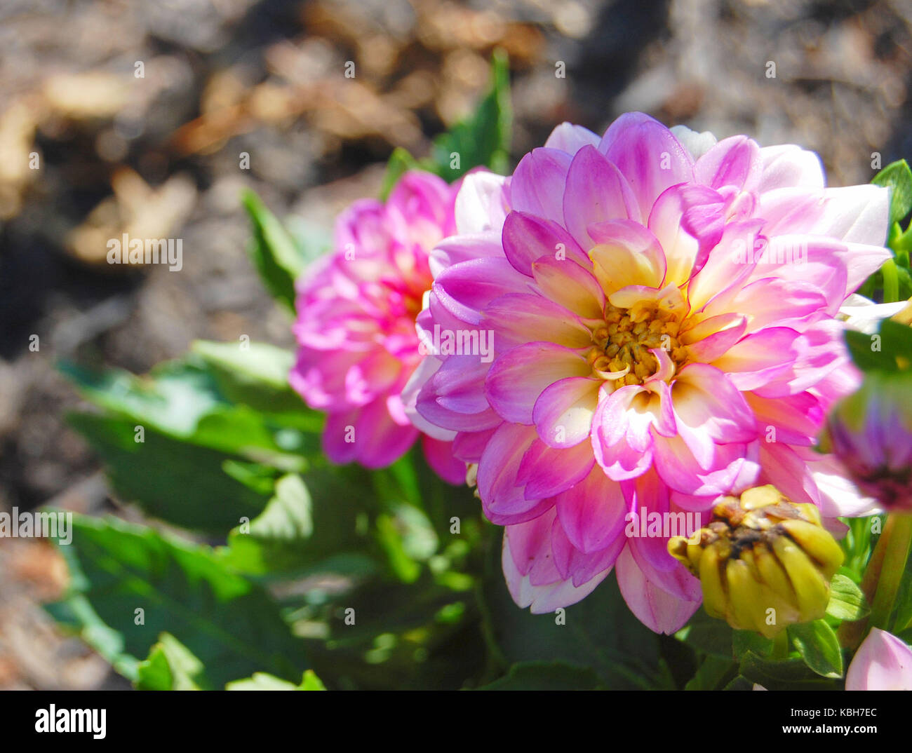 Magenta dahlias on a summer day - Stock Image