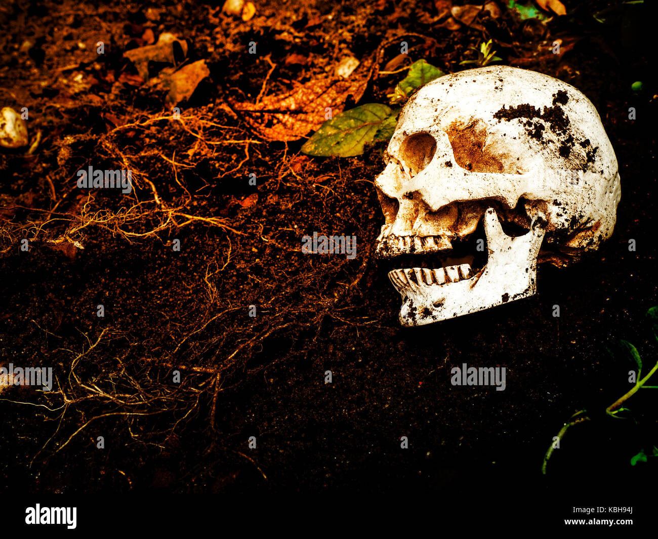 Beside of human skull buried in the soil.The skull has dirt attached to the skull.concept of death and Halloween - Stock Image