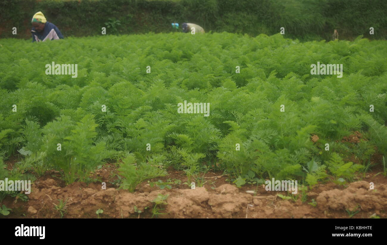 A Shot Of a Carrot Field in Nuwareliya, Srilanka - Stock Image
