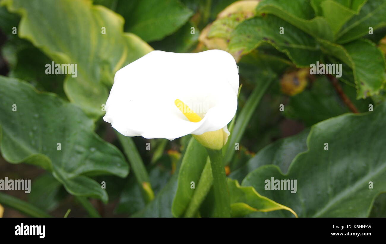 A Shot of a White Cup Flower In SrilankaPla - Stock Image