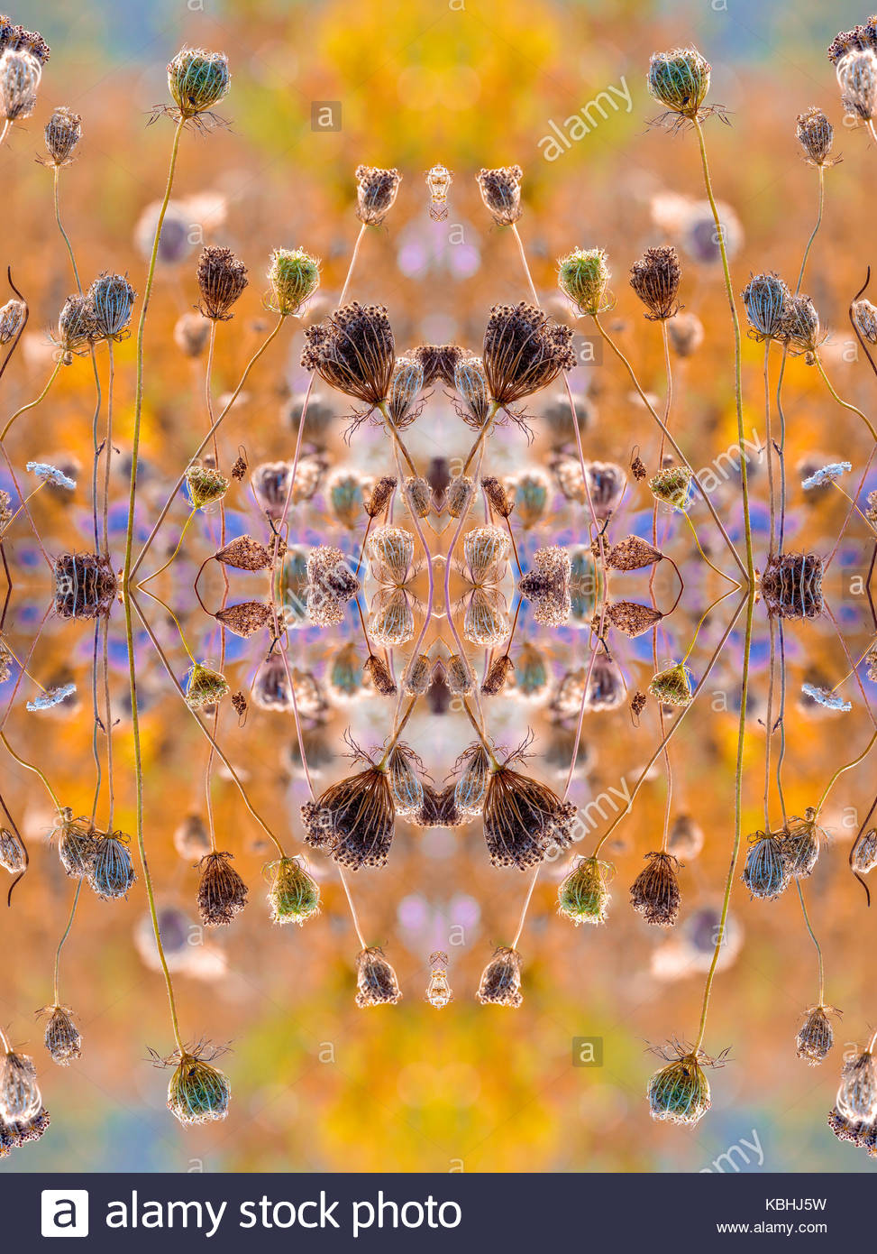 Kaleidoscope pattern of fruit clusters of Queen Anne's Lace Wild Carrot Daucus carota mirror symmetry symmetric - Stock Image