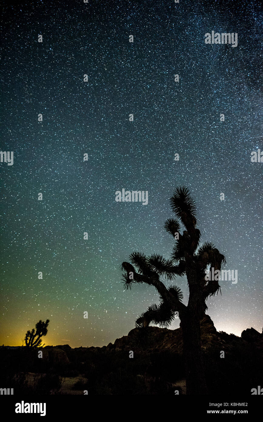The night sky peppered with thousands of stars which hangs vertically over a Joshua Tree in Joshua Tree National - Stock Image