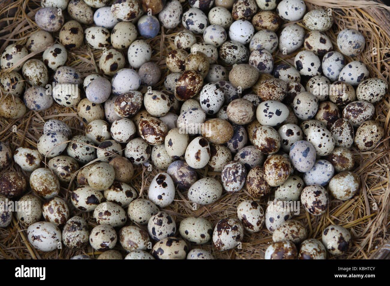 wachtel eier in einem Korb mit Stroh - quail eggs in a basket with straw - Stock Image