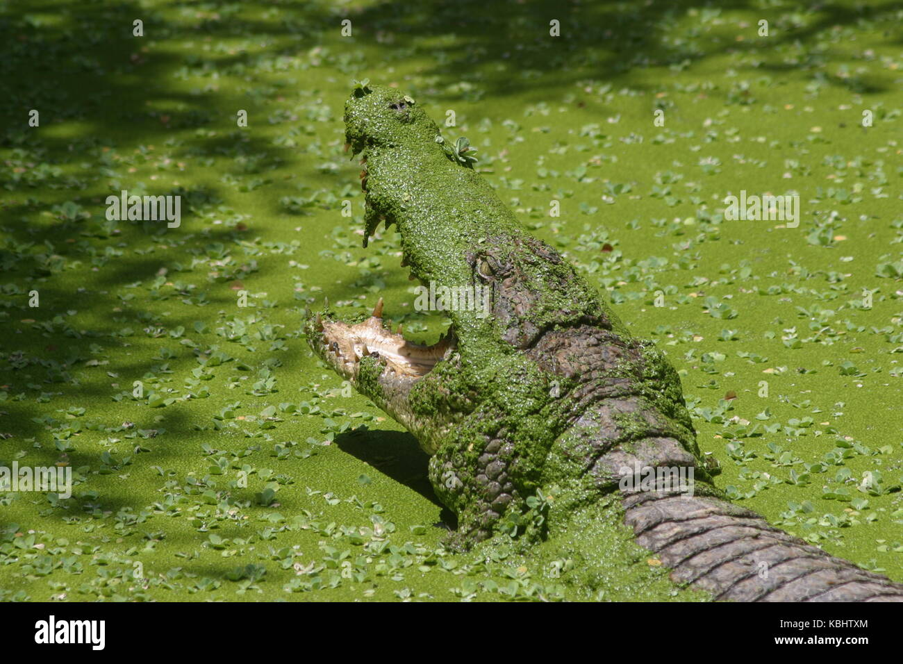 Krokodil mit offenem Maul - Crocodile with open mouth - Stock Image