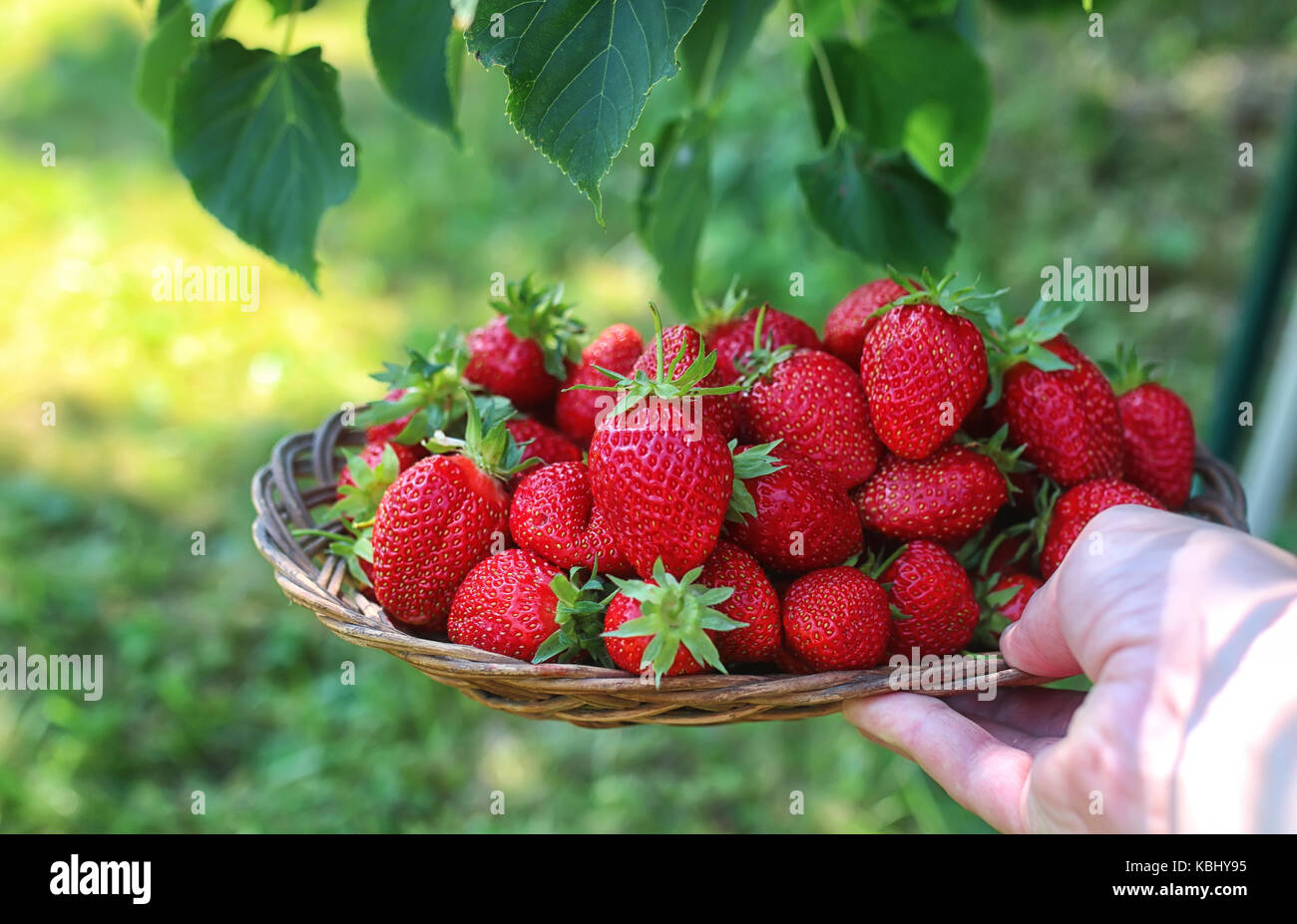 strawberries in his outstretched hand Stock Photo
