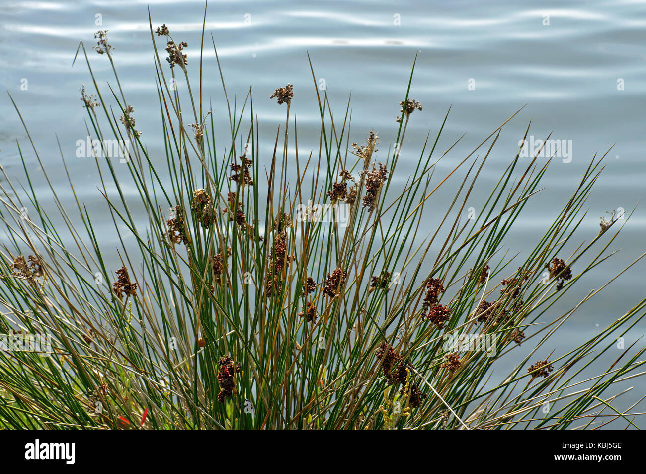 this is Juncus acutus, the Spiny rush, from the family Juncaceae - Stock Image