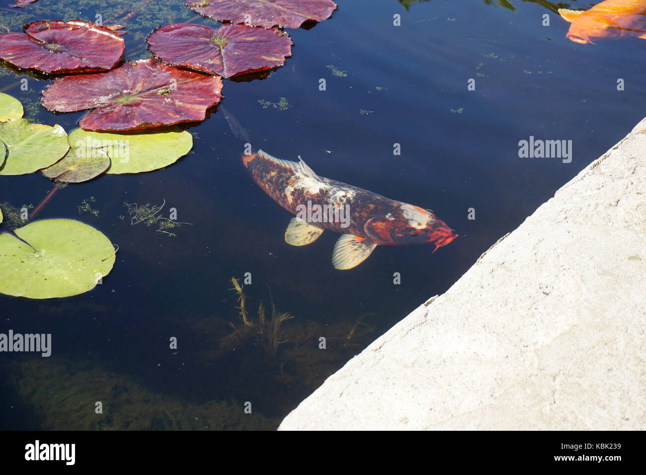 Lily Pad Pond Stock Photos & Lily Pad Pond Stock Images - Alamy